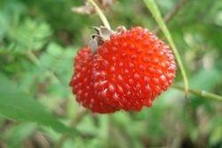 Sweet Framboise fruit