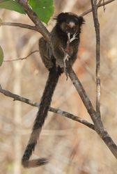 Sagui de tufos pretos ( Callithrix penicillata )