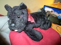 Roosie the Scottish Terrier