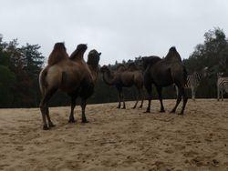 Ja kamelen.