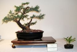 Juniperus Procumben