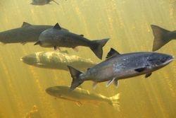 Salmon at Salmondid, Grand Falls