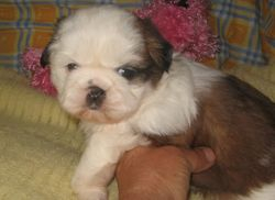 Pretty white face girl the first for any puppies I have had