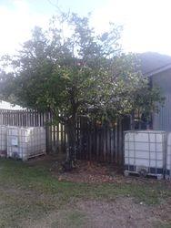 Orange Tree Before