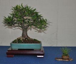 Ficus Nerifolia(salicifolia)