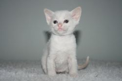 1 month old  Red point Boy