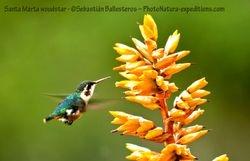 Santa Marta woodstar - Chaetocercus astreans