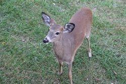 Deer at Massanutten Resort, Virginia