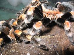 B.smithi breeding 2011 (2)