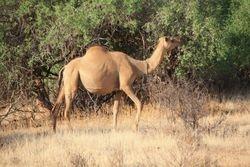 Camel - Samburu Game Reserve