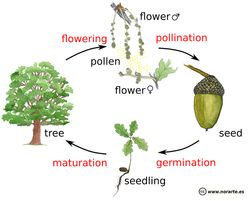 Arbor Day - Life Cycle Graphic