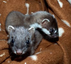 Orphaned Stoats