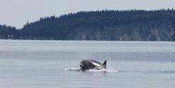 Orca heading for Buccaneer Beach