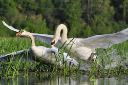 Accouplement de cygnes - Mating swans