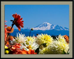 Mt. Baker with Dahlias