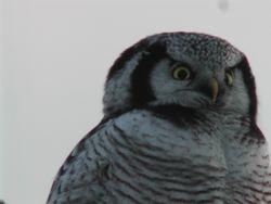 Hawk Owl (Chouette épervière)