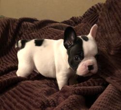 AKC Chunk: Male, Brindle Pied French Bulldog Puppy. AKC $3500.COMPANION DOB 04/07/2019