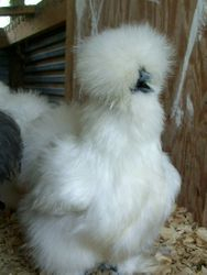 4 month old white pullet