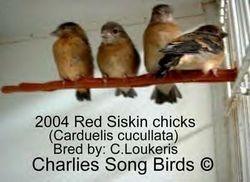 Red Siskin babies