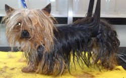 (Before) Tea Cup Yorkshire Terrier