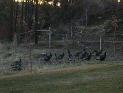 Wild turkeys! Fall 2010