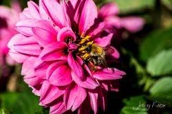 Hummel auf Dahlie / Bumblebee on Dahlia