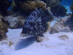 Black Grouper