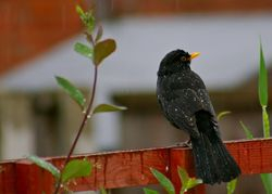 A wet Blackbird.