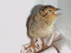 Pheasant Chick