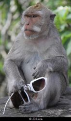 After a few minutes spent with no offers, an adult male macaque has damaged his token (Uluwatu)