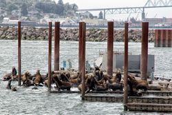 Sea lions trying to take over the pier in Astoria