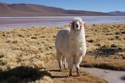 Altiplano, Bolivia 28