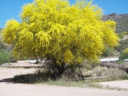 Palo Verde in April