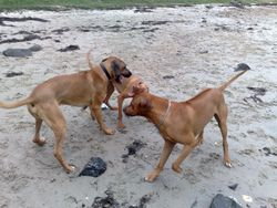 Elvis with his two buddies, Baako and Roux the Visla