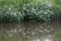 Cowbane growing by water