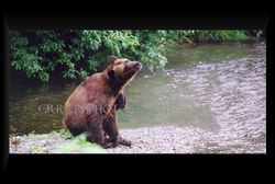 Grizzly Sow scratching