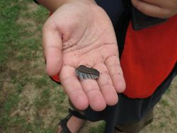 Cow shark tooth found on one of our Stratford Hall Trip