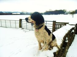 Our happy springer loving the snow