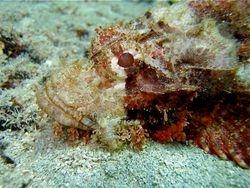 Close-up Papuan Scorpionfish
