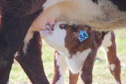 Trust Heifer Calf