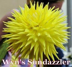 Wyn's Sundazzler AA SC Y