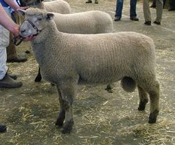 Willow Drive Y9-16/2009 - Pete as a lamb