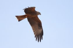 Black Kite  (MILAN NOIR)