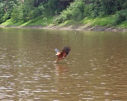 Black-collared Hawk catches his own Piranha