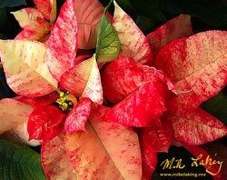 Nochebuena (Poinsettia) #7