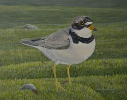 "The Wanderer - Semipalmated Plover (8 BY 10"" acrylic on canvas)"