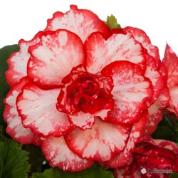 Belgian Begonia Bulbs are in
