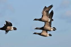 Janvier  - Oie bernache cravant - Barnacle geese