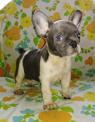 Cody: AKC French Bulldog, $2895 Companion, $3395 breeding rights with full AKC Registration, Male, Blue Pied, born 4-16-18