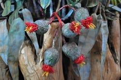 Aussie bloom, detail